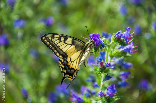 Obraz na plátně Butterfly yellow swallowtail perched on a blue flower