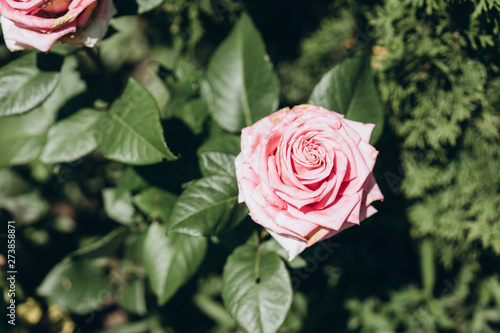beautiful pink rose with green leaves, buds and spikes, selective focus