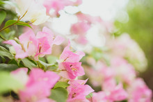 Bright Blooming Bougainvillea ...