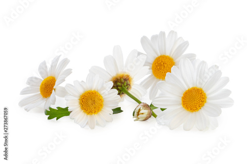 Photo sur Aluminium Marguerites White Daisies (Marguerite) isolated, including clipping path without shade.