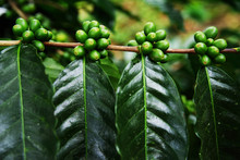 Coffee Plant. Coffee Beans Gro...