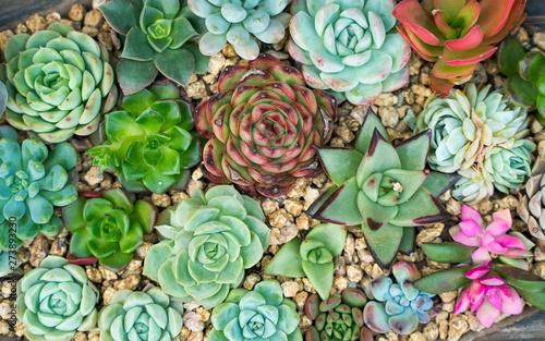 Fototapeta  Miniature succulent plants in garden obraz