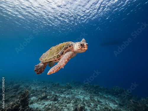Poster Tortue Loggerhead Sea Turtle in coral reef of Caribbean Sea around Curacao