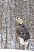 Bald Eagle In Snowfall