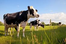 Troupeau De Vaches Laitières En Campagne > France