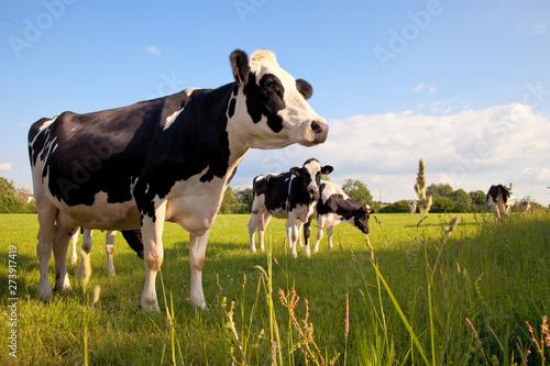 Cuadros en Lienzo Troupeau de vaches laitières en campagne > France