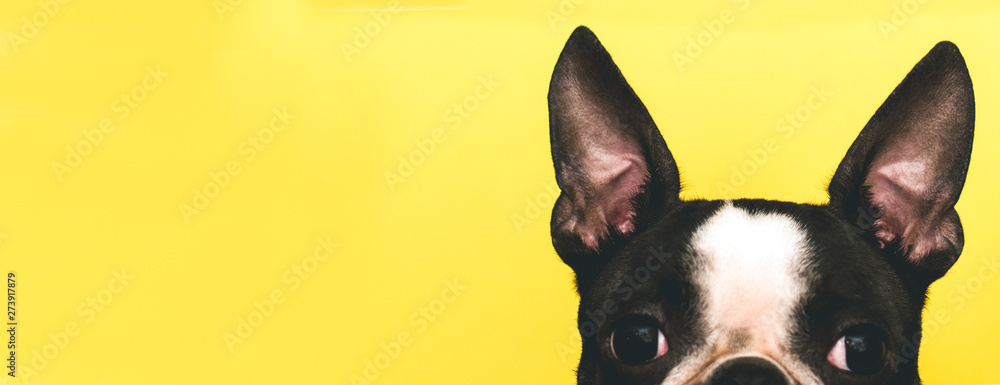 Fototapety, obrazy: The top of the dog's head with large black ears Boston Terrier breed on a yellow background. Creative. Banner