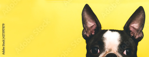 Spoed Foto op Canvas Hond The top of the dog's head with large black ears Boston Terrier breed on a yellow background. Creative. Banner