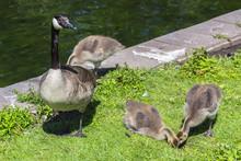 Canadian Goose (Branta Canaden...