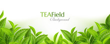 Green Tea Leaves Background. H...