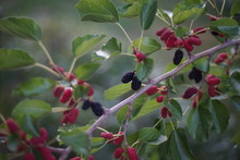 Mulberry Tree Branch With Ripe And Ripening Berries