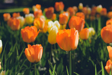 Colorful Tulips Flowers Blooming In A Spring Garden. Orange Tulips In Park. Beautiful Spring Flowers Under Sun Rays Card.