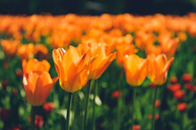Colorful Tulips Flowers Bloomi...