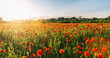 Landscape with nice sunset over poppy field panorma