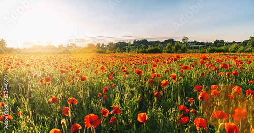 Fotoposter Poppy Landscape with nice sunset over poppy field panorma