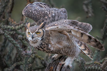 Great Horned Owl Launching Fro...