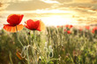 Beautiful blooming poppy flowers in field at sunset. Space for text