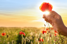 Woman With Red Poppy Flower In Field At Sunset, Closeup. Space For Text