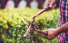Gardening. Man Trimming Hedge ...