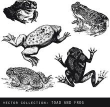 Set Of Vector Vintage Illustrations Of Frogs And Toads On White Background