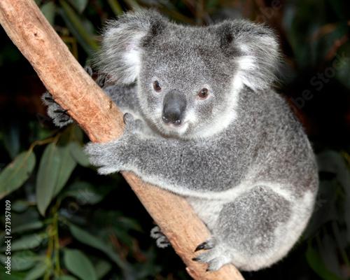 In de dag Koala Australian koala bear in tree