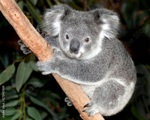 Printed kitchen splashbacks Australia Australian koala bear in tree