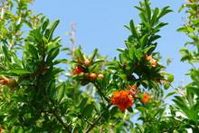 ザクロの果実と花