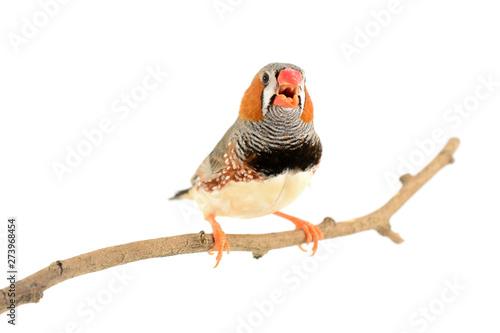 Photographie Zebra Finch bird