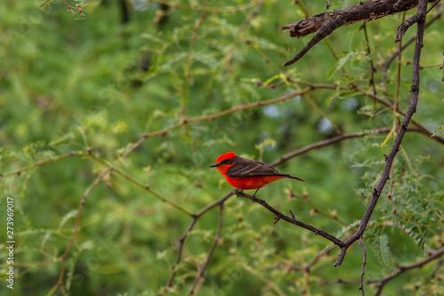 Red Bird Arizona Canvas Print