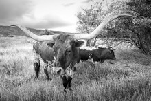 Two Black And White Texas Long Horn Cows In A Rural Field, Utah, USA.