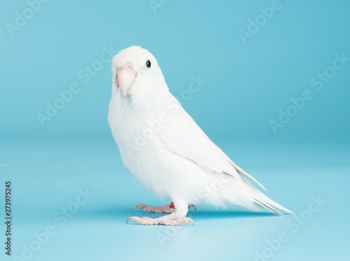 Fotografie, Obraz Bird parrot parakeet forpus american white color isolated on blue background 8 m