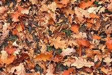 Top View Of A Layer Of Fallen Dry Oak Leaves On The Ground In The Forest