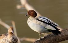 Australian Wood Duck Male Stan...