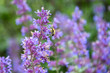 canvas print picture - Honey bee pollinating blooming purple catmint, purple and green garden