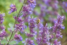 Honey Bee Pollinating Blooming...
