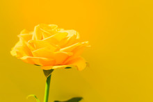 One Yellow Rose On A Blue Background. Copy Space. Postcard.
