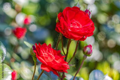 Fototapeta Czerwone róże obraz