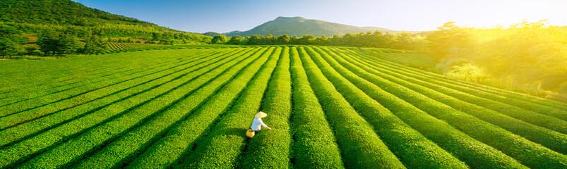 Aerial view of ecological tea garden