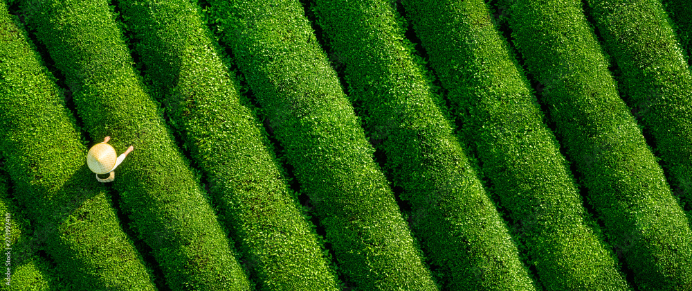 Fototapety, obrazy: Aerial view of ecological tea garden