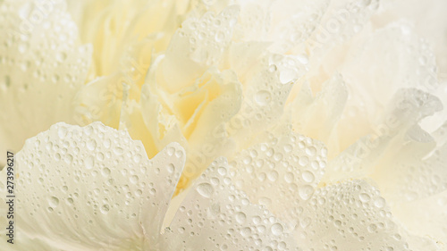 Obraz Close up of white creamy flower with dew drops on petals. - fototapety do salonu
