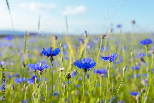 Deurstickers Pistache Beautiful blue Cornflower Centaurea cyanus. Beautiful flowers with blue bloom in summer meadow, Summer agriculture concept and landscape with blue sky.