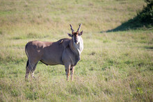 Eland, The Largest Antelope, I...