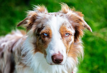 Beautiful Red Merle Border Collie With Different Coloured Eyes