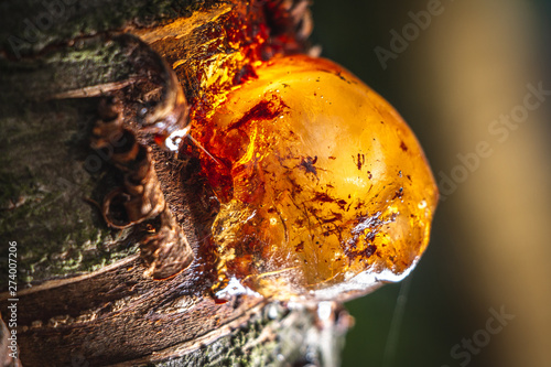Vászonkép Close-up of a solid amber resin drop on a cherry tree branch.