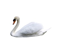 Beautiful Swan Isolated On Whi...