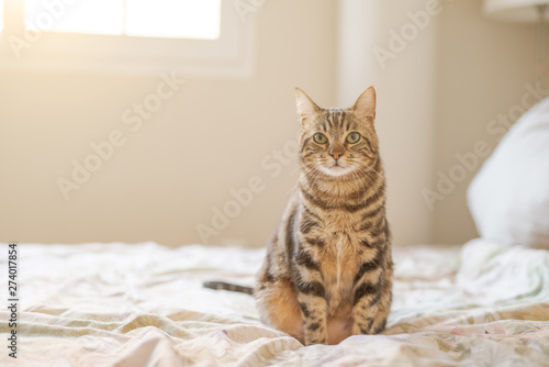 Obraz Beautiful short hair cat lying on the bed at home - fototapety do salonu