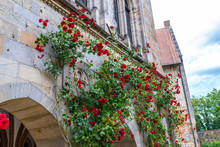Red Climbing Roses Growing On ...