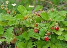 Wild Strawberry In A Natural E...