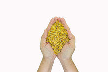 Jasmine Rice From The Field On Woman Farmer Hands