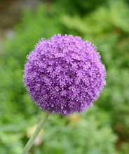 A Macro Closeup Of A Curious Funny Purple Pink Garden Allium Flower Cluster From Onion And Garlic Family In The Garden